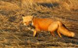 _JF00211 Fox with prey.jpg