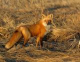 _JF00220 Fox  in Newburyport Salt Marsh.pg