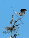 _JF01809 Great Blue Heron Nest Materials Exchange.jpg