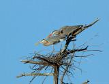 _JF01819 Great Blue Heron pair in Nest.jpg