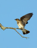 _JF01853 Rough Wing Swallow Wing Stretch.jpg