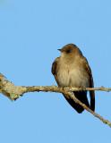 _JF01952 Rough Wing Swallow Look Left.jpg