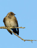 _JF01959 Rough Wing Swallow Look Right.jpg