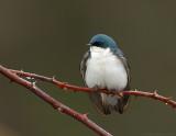 _NAW0603 Tree Swallow Hunkered.jpg