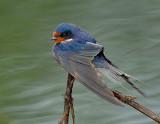 _NAW0415 Barn Swallow In The Rain