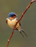 _NAW0601 Barn Swallow Perched LR.jpg