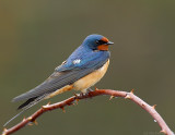 _NAW0625 Barn Swallow Look R.jpg