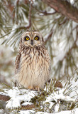 Short eared Owl at Roost in Pines.jpg