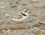 NAW3941 Piping Plover With Eggs