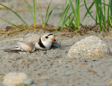NAW4331 Piping Plover Nest Diversion Display