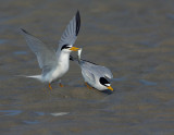 _NAW4729 Least Terns Mating ~ The Offering