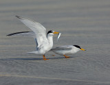 _NAW4740 Least Terns Mating ~ The Approach