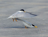 _NAW4749 Least Terns Mating ~ The Mount