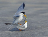_NAW4758 Least Terns Mating ~ The Exchange 1.jpg