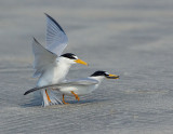 _NAW4772 Least Terns Mating ~ The Act of Breeding