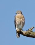_JFF4877 Red Shoulder Hawk.jpg