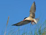 _JFF3310 Tern Landing Grass.jpg