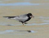 _JFF6292 Black Tern Flats Hack.jpg