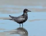 _JFF6971 Black Tern Flats LR.jpg