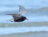 _JFF7699 Black Tern Flight Along Surf.jpg