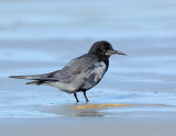 _JFF8284 Black Tern On Beach LR.jpg