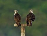 _JFF7798 Ospreys on Perch.jpg