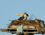 _JFF7926 Osprey Female Arranging Nest.jpg