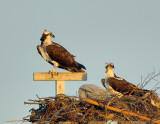 _JFF8505 Osprey Pair on Nest.jpg