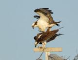 _JFF8561 Osprey Male Landing on Female.jpg