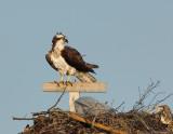 _JFF8567 Female Osprey on Nest.jpg