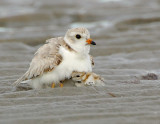 JFF7339 Piping Plover Parent with Chick