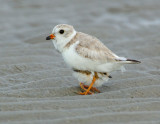 JFF7348 Piping Plover Parent with Chick