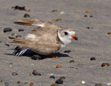 JFF8087 Piping Plover Diversion Display