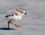 JFF8063. Piping Plover Chick