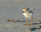 JFF8414. Piping Plover Chick