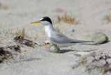 _JFF8761 Least Tern Parent and Chick