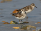 semipalmated_sandpiper_with_leg_bands