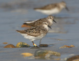 JFF2967 Semipalmated Sandpiper With Leg Bands