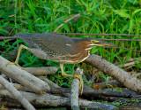 _JFF1483 Green Heron Beaver Hut.jpg