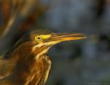 _JFF1650 Green Heron Dappled Light.jpg