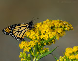 monarchs_on_goldenrod