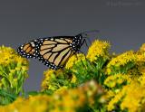 _JFF1977 Monarch on Goldenrod.jpg