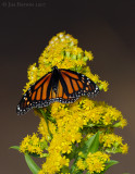 _JFF1985 Monarch and Goldenrod.jpg