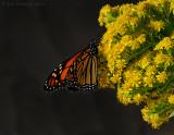 _JFF1992 Monarch and Goldenrod.jpg