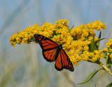 _JFF2103 Monarch and Goldenrod.jpg