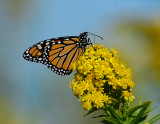 _JFF2116 Monarch and Goldenrod.jpg