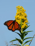 _JFF2125 Monarch and Goldenrod.jpg