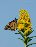 _JFF2132 Monarch and Goldenrod.jpg