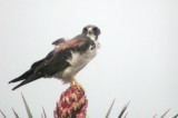 White-tailed Hawk 1