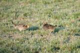 Greater Prairie Chickens 1